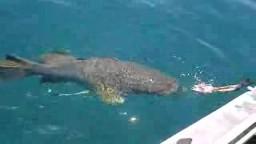 big Cod swimming