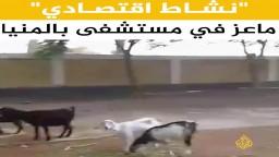 ماعز في مستشفى المنيا!!